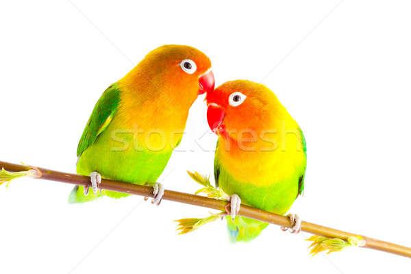 Paire isolé blanche amour oiseau vert Photo stock © alexandkz