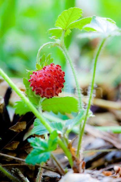 Vadeper bogyó növekvő természetes környezet makró Stock fotó © alexandkz