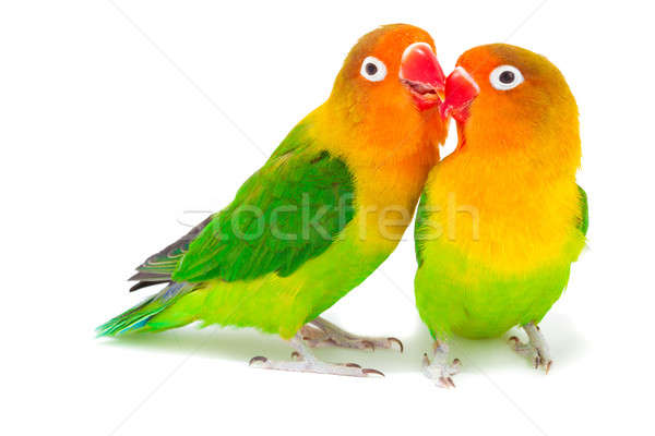 Pair of lovebirds agapornis-fischeri Stock photo © alexandkz