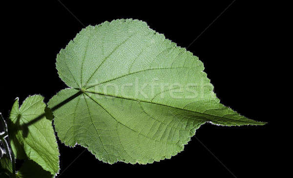 Belle feuille verte isolé noir feuille jardin Photo stock © alexandkz