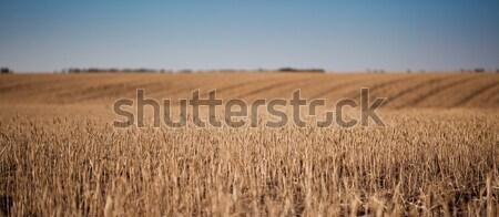 Dourado trigo campo de trigo paisagem luz laranja Foto stock © alexandkz