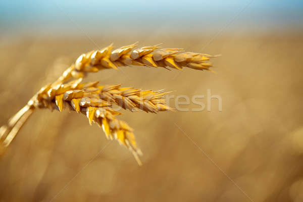 Campo de trigo natureza paisagem verão pão Foto stock © alexandkz