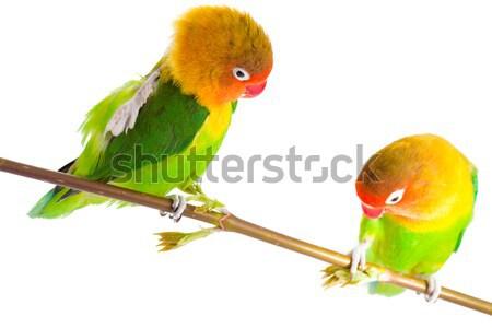 Paar geïsoleerd witte liefde vogel groene Stockfoto © alexandkz