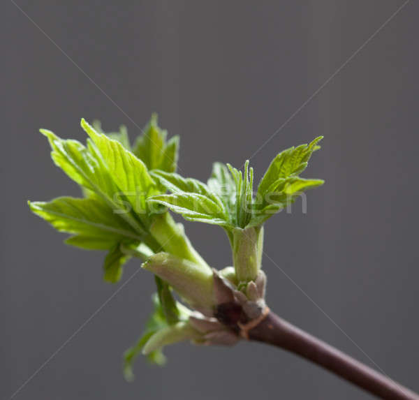 Maple leaf bud Stock photo © alexandkz