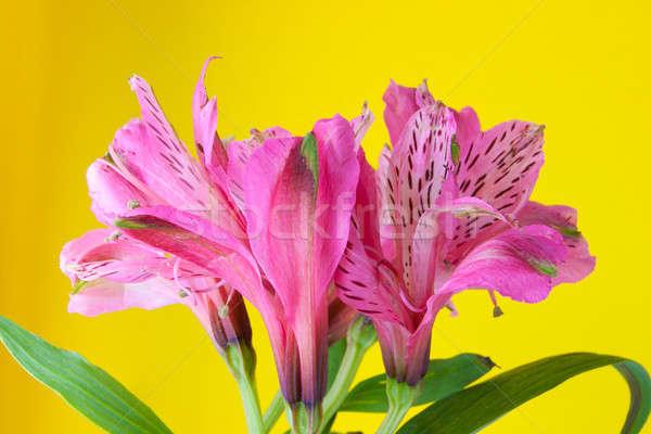 Violeta flor amarelo flores natureza fundo Foto stock © alexandkz