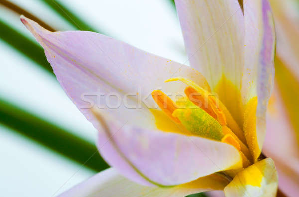 Fleurs du printemps première blanche fleur printemps beauté Photo stock © alexandkz