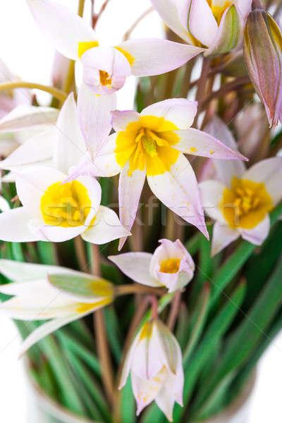Fleurs du printemps isolé nature beauté usine belle Photo stock © alexandkz