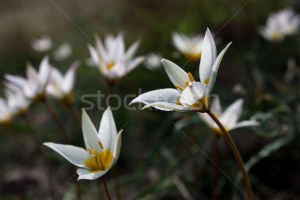 Lentebloemen natuur schoonheid mooie vers krokus Stockfoto © alexandkz