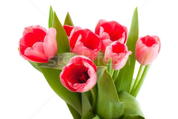 Rood tulpen geïsoleerd witte Pasen Stockfoto © alexandkz