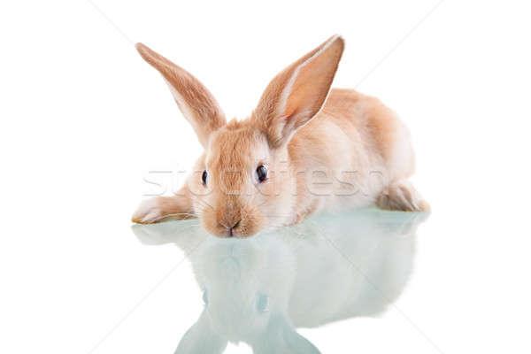 beautiful bunny lying Stock photo © alexandrenunes