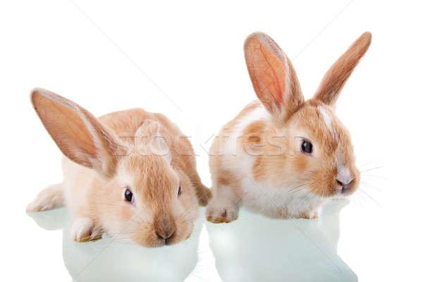 two beautiful bunnies Stock photo © alexandrenunes