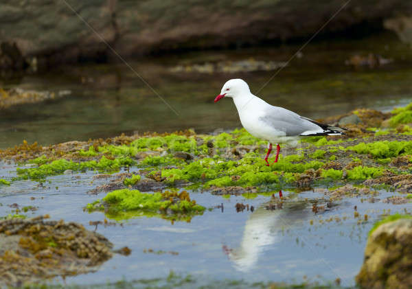 Red-Billed Gull Stock photo © alexeys
