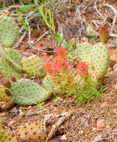 Prickly Pear Stock photo © alexeys