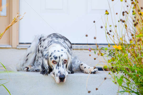 Dog by the door Stock photo © alexeys
