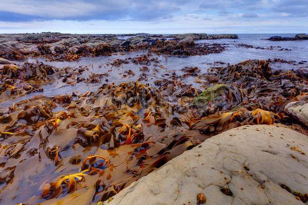 Kelp  Stock photo © alexeys