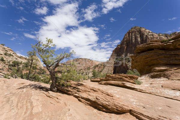 Desert Tree Stock photo © alexeys