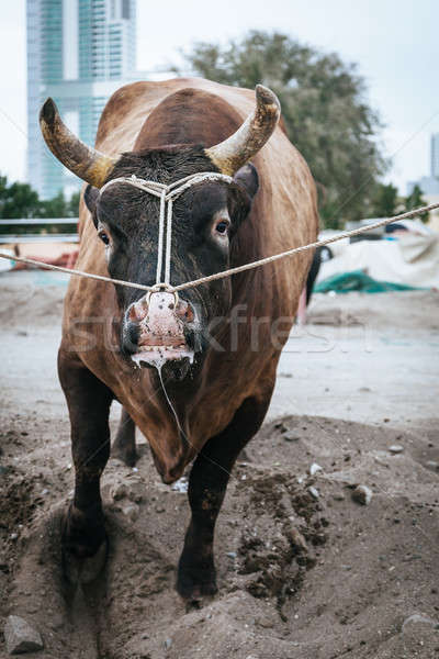 Bull fighting in Fujairah Stock photo © alexeys