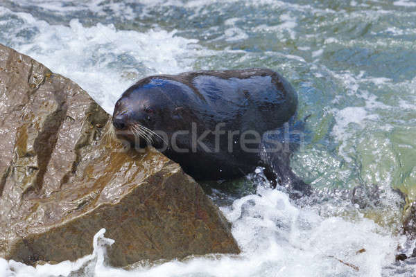 Sea Lion Stock photo © alexeys