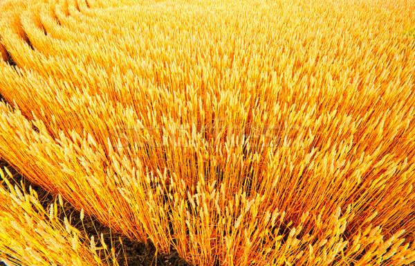小麦 ファーム 農村 インディアナ州 食品 ストックフォト © alexeys