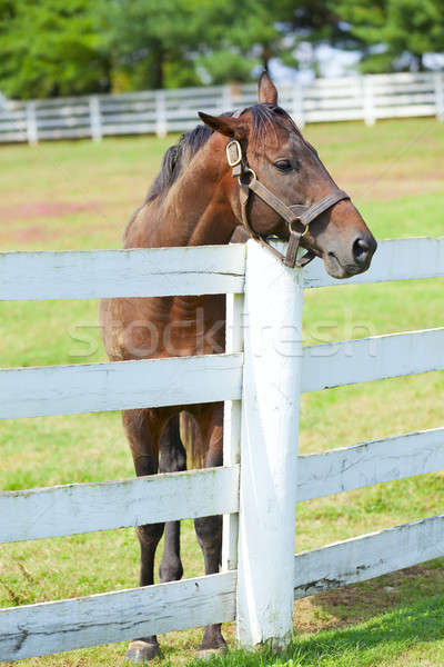 At çiftlik görüntü güzel kahverengi ayakta Stok fotoğraf © alexeys