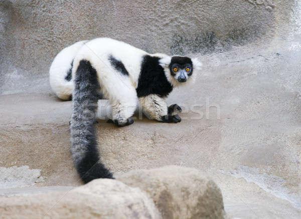 Naturalmente Madagáscar um cativeiro fechar naturalismo Foto stock © alexeys