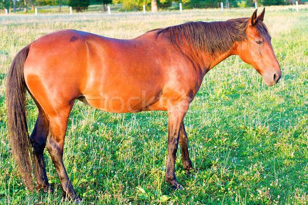 Horse Stock photo © alexeys