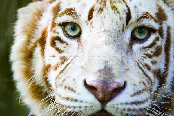 Yeux albinos tigre visage Indiana Photo stock © alexeys