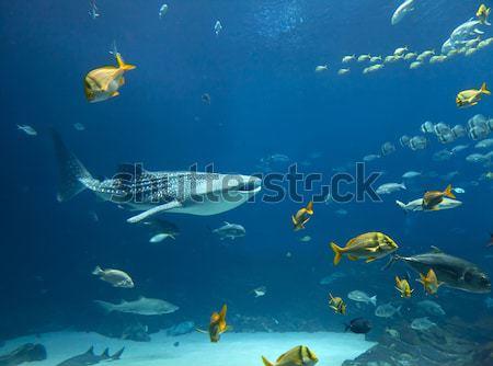 Bálna cápa vízalatti kép iskolák hal Stock fotó © alexeys