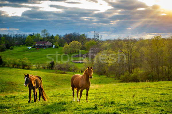 Stock photo: Horses on a pasture in Kentucky