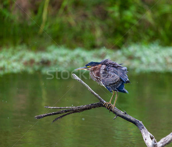 Green Heron Stock photo © alexeys