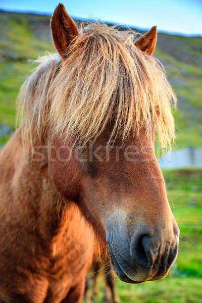 Icelandic pony Stock photo © alexeys