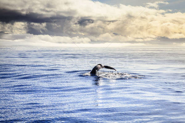Humpback whale Stock photo © alexeys