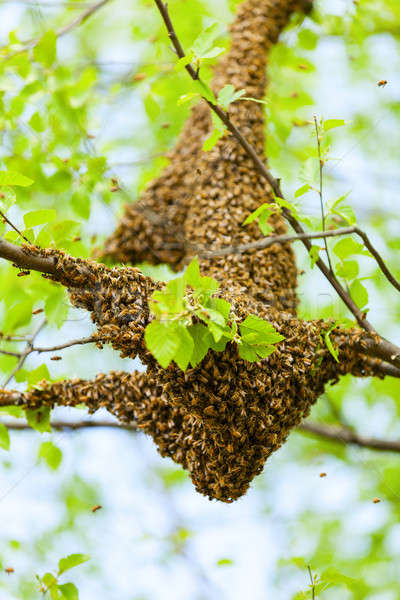 Bee swarm Stock photo © alexeys