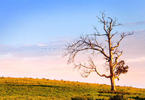 Lone tree Stock photo © alexeys