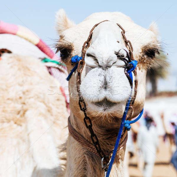 Yarış deve portre atış kulüp Stok fotoğraf © alexeys