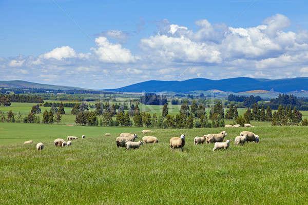 Birka kép mezők Új-Zéland felhők természet Stock fotó © alexeys
