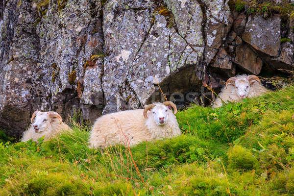 Icelandic sheep Stock photo © alexeys
