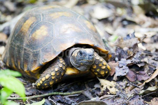 Yellow-footed tortoise Stock photo © alexeys