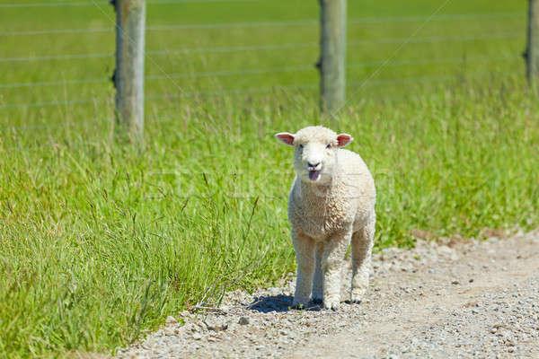 Lamb on the Lam Stock photo © alexeys