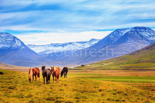 Icelandic ponies Stock photo © alexeys