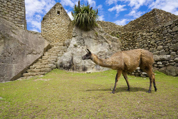 Machu Picchu lama yürüyüş eski ören çim Stok fotoğraf © alexeys