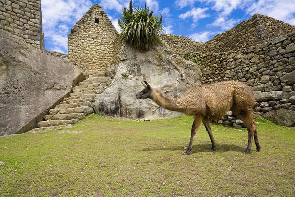 Machu Picchu lama lopen oude ruines gras Stockfoto © alexeys