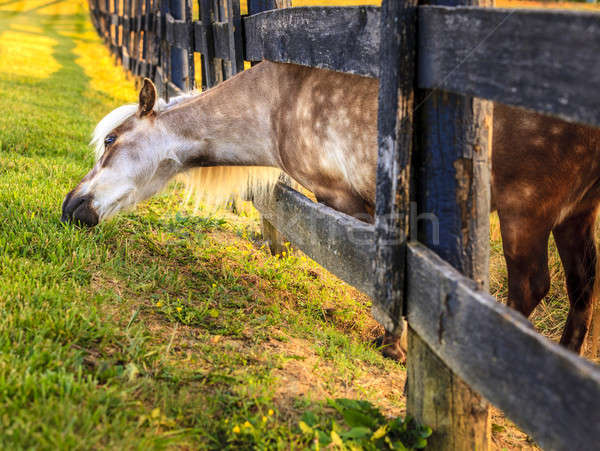 Midilli dışında çit çim doğa at Stok fotoğraf © alexeys