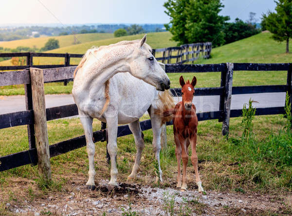 White horse and her colt Stock photo © alexeys