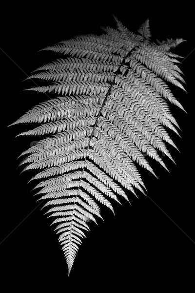 Fougère blanc noir image Nouvelle-Zélande isolé noir Photo stock © alexeys