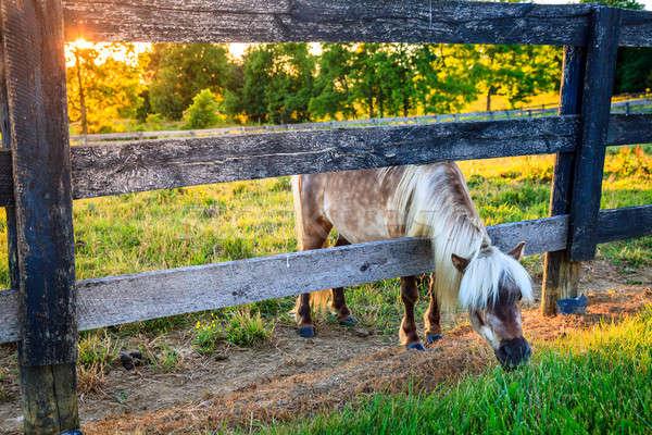 Grazing pony Stock photo © alexeys
