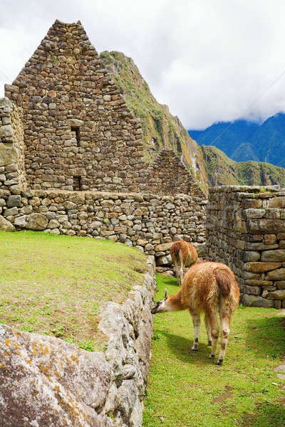 Llamas at Machu Picchu Stock photo © alexeys