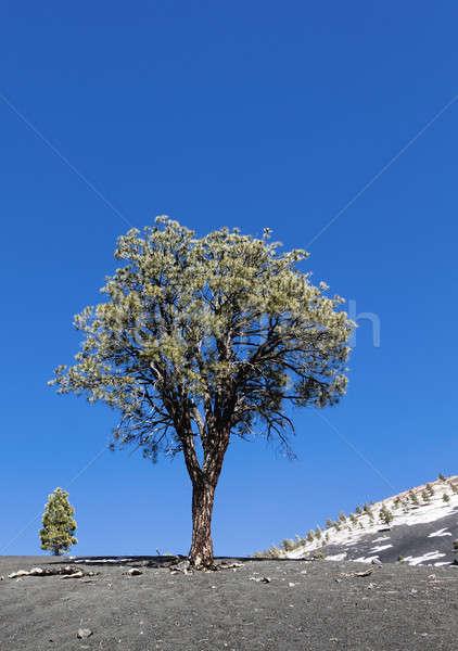 Lone pine tree Stock photo © alexeys
