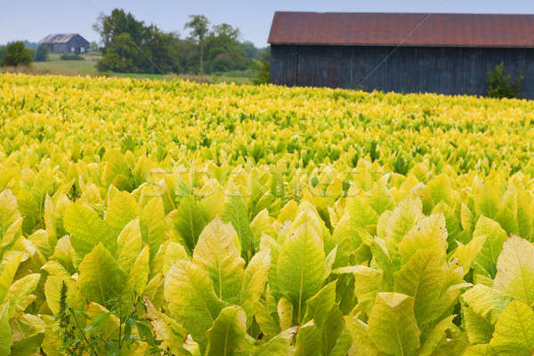 Tabacco farm campo impianti Kentucky verde Foto d'archivio © alexeys