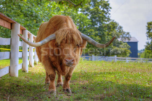 Stock photo: Scottish highlander ox